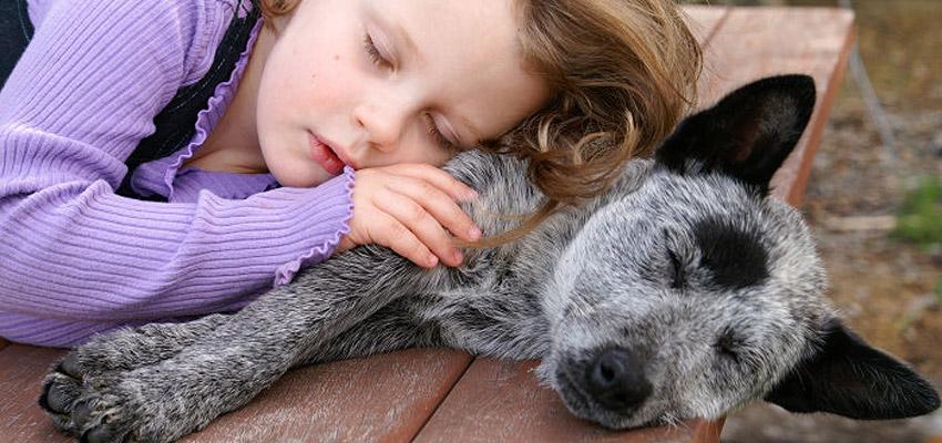 bouvier australien et enfant