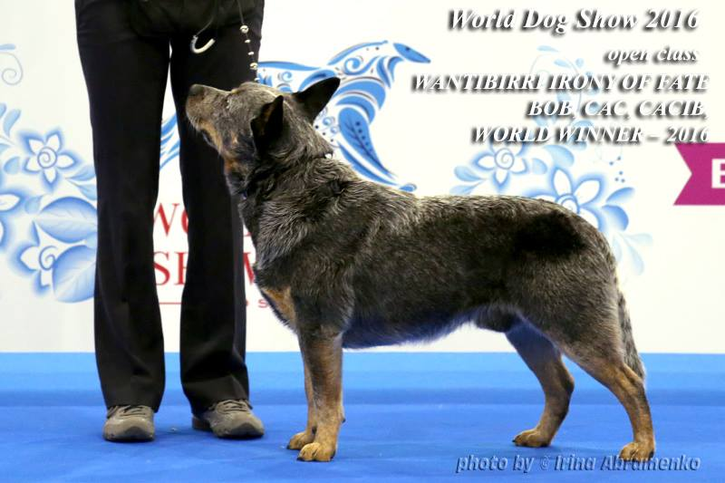 World Dog Show 2016 australian cattle dog winner