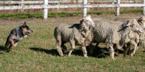 cattle dog herding