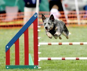 Australian-Cattle-dog-agility